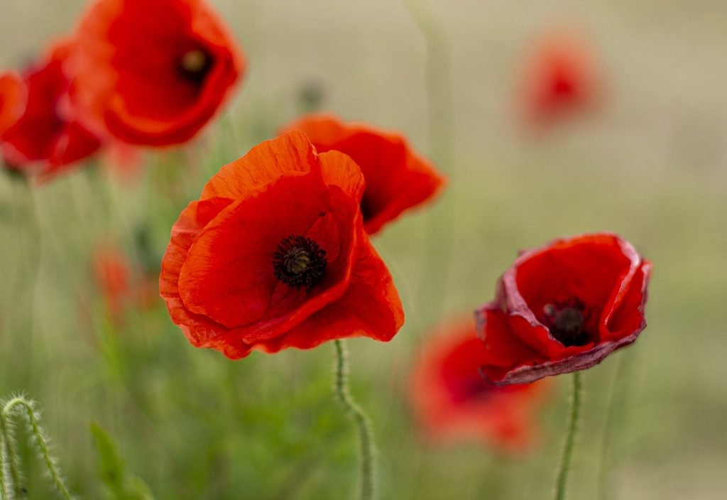 How to plan a veteran funeral: Poppies can help commemorate their military contribution.